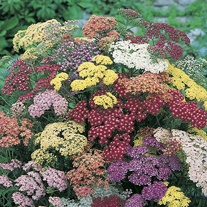 Achillea Summer Berries