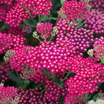 Achillea New Vintage Red