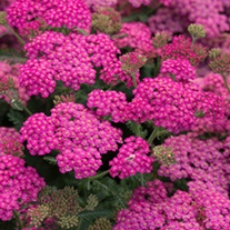 Achillea New Vintage Rose