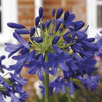 Agapanthus Flower of Love Potted Plant