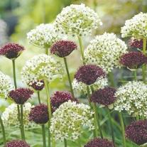 Allium nigrum & Allium atropurpureum