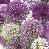 Allium Border Mix