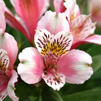 Alstroemeria Duke William