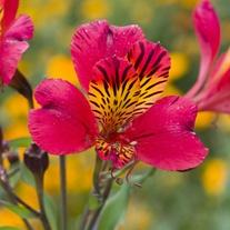 Alstroemeria Majestic Chinon