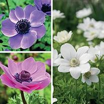 Anemone cononaria Collection