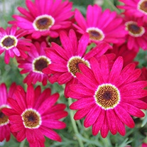 Argyranthemum Grandaisy Deep Red Flower Plants