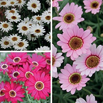 Argyranthemum Grandaisy Collection
