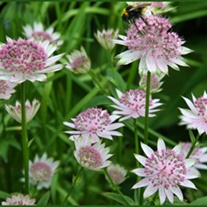 Astrantia major April Love