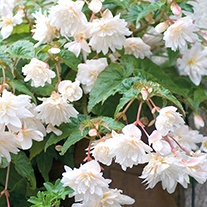 Begonia Illumination White F1