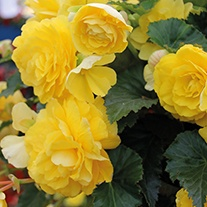 Begonia Illumination Lemon F1