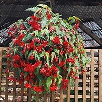 Begonia Illumination Scarlet F1