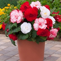 Begonia Majestic Romance F1