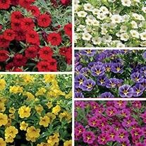 Calibrachoa Collection