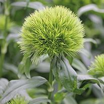 Carnation Green Magma