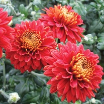Chrysanthemum 'Pennine Port'