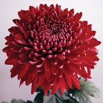Chrysanthemum 'Regal Mist Red'