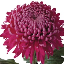 Chrysanthemum 'Regal Mist Purple'