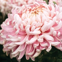 Chrysanthemum 'Allouise Pink'