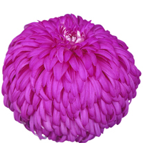 Chrysanthemum 'Amy Lauren'