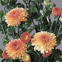 Chrysanthemum 'Pompon Champagne'