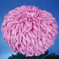 Chrysanthemum 'Helen Gravestock'