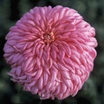 Chrysanthemum 'Patricia Miller Rose'