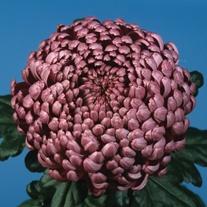Chrysanthemum 'Daily Mirror'