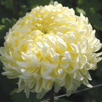 Chrysanthemum 'John Hughes Yellow' (Late)