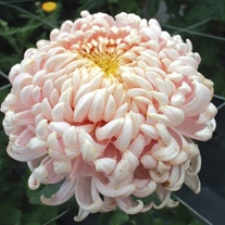 Chrysanthemum 'Leading Lady'