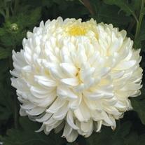 Chrysanthemum Billy Bell