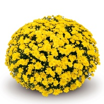 Chrysanthemum 'Conaco Yellow'
