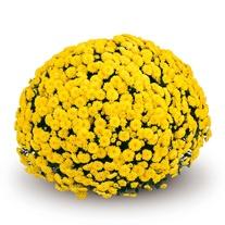 Chrysanthemum 'Appro Yellow' (Early)