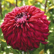 Chrysanthemum 'Pot Black'