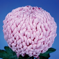 Chrysanthemum 'Fairweather' (Early)