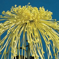 Chrysanthemum Golden Rain (Late)