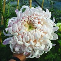 Chrysanthemum 'Denise Oatridge'