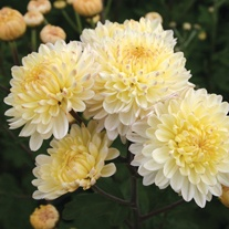 Chrysanthemum 'Pennine Drift'