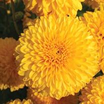Chrysanthemum 'Pennine Goal'