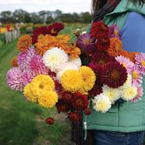 Chrysanthemum Pennine Collection