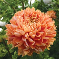 Chrysanthemum 'Salmon Chessington'