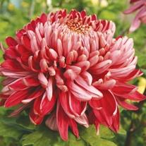 Chrysanthemum 'Cherry Chessington'