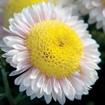 Chrysanthemum Pennine Oriel (Late)