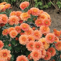 Chrysanthemum Peggy (Late)