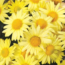 Chrysanthemum Early Yellow