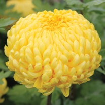 Chrysanthemum Ada Evans (Early)