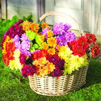 Chrysanthemum Spray Collection