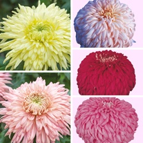 Chrysanthemum Festival Collection