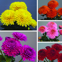Chrysanthemum Snowdon Collection