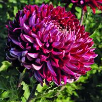 Chrysanthemum Barnardo's Hope (Early)