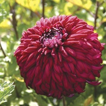 Chrysanthemum 'Pot Black'